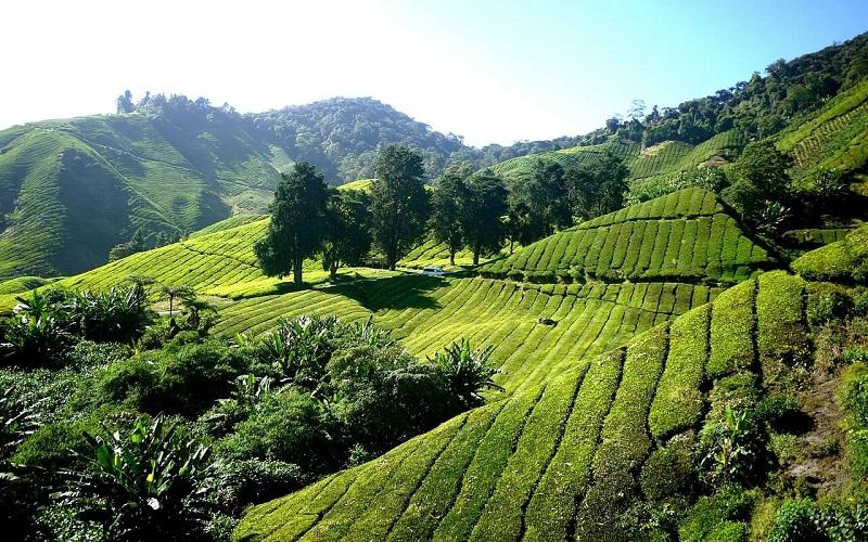 Фото: Камерон Хайлендс - Достопримечательности Малайзии: ТОП-10